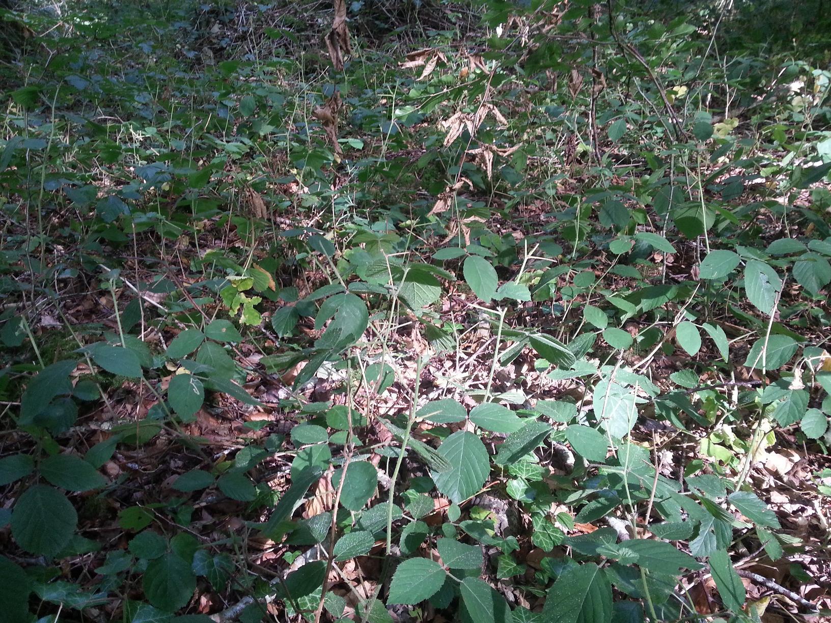 La ronce est le végétal le plus consommé par le chevreuil en hiver.