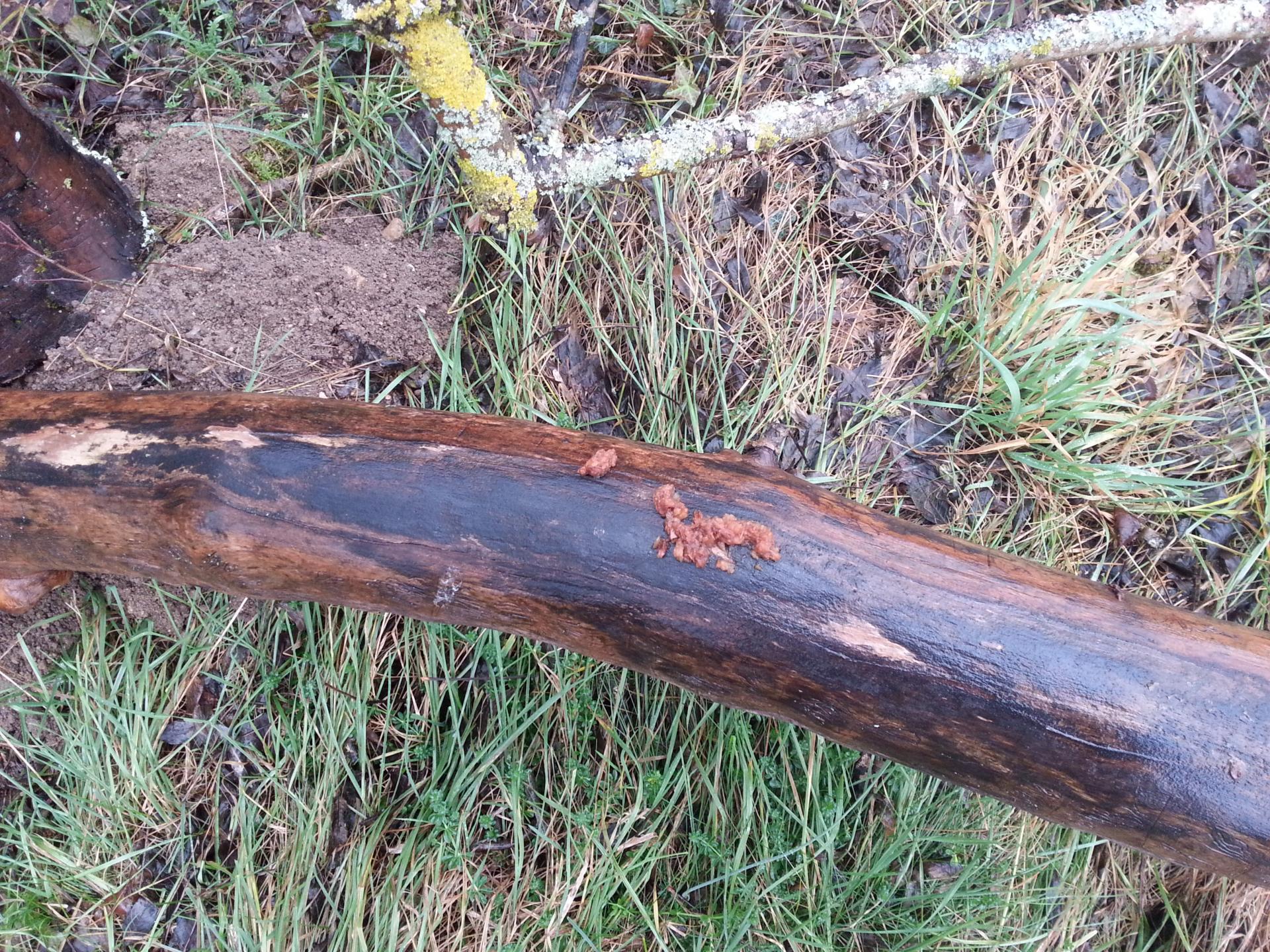 Seule une martre est capable de percher ses dépôts en hauteur sur ce tronc.