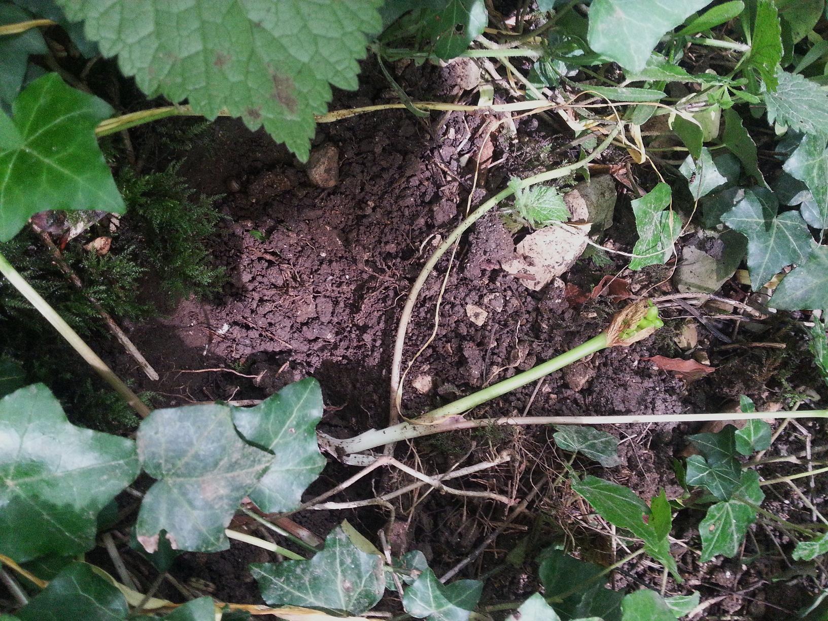 Le blaireau consomme parfois la tige souterraine de cette plante.