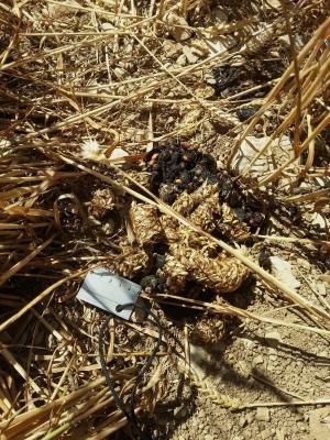 Indices du blaireau, champ de céréales.