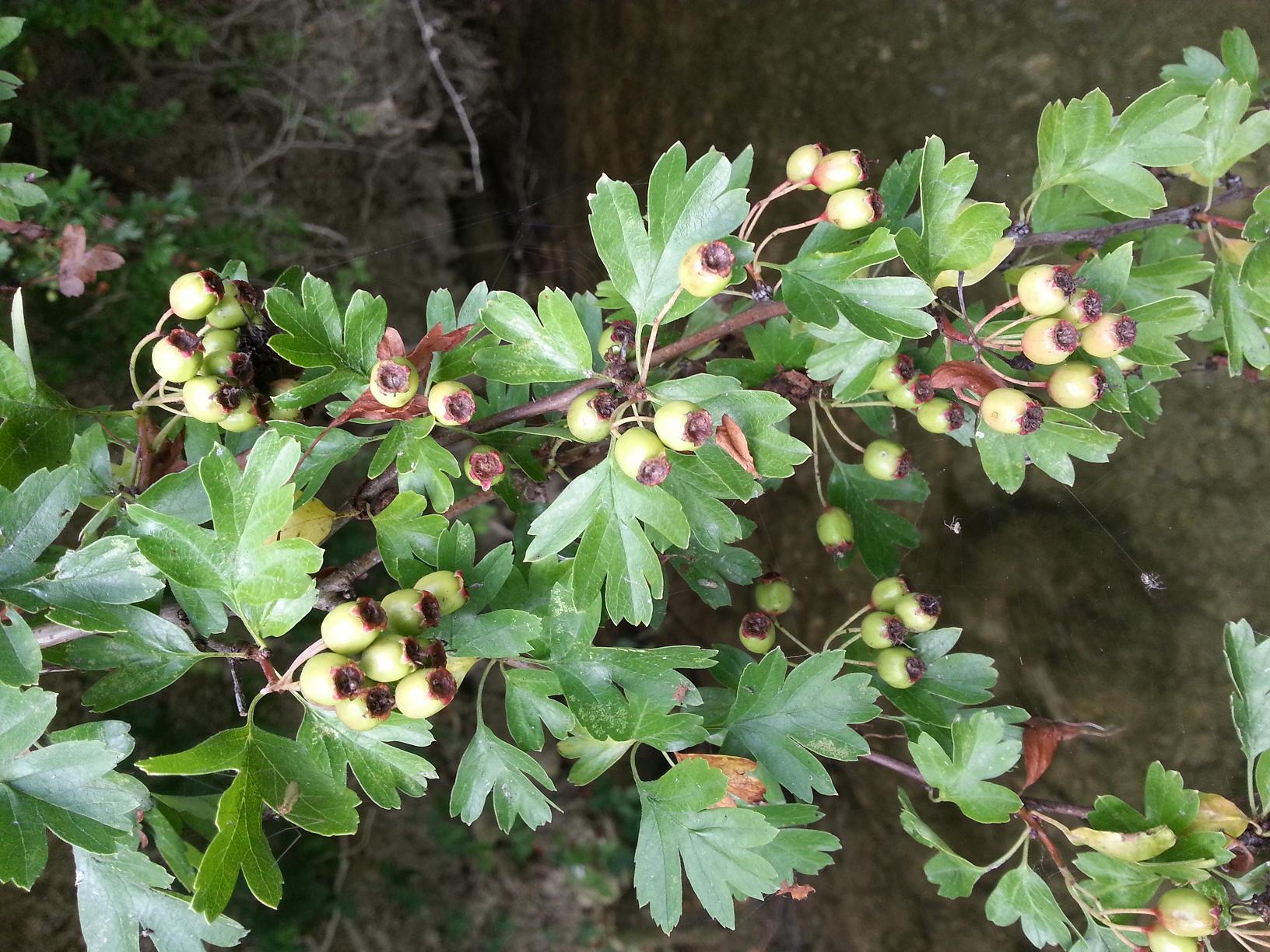 Cet arbuste épineux est une aubépine