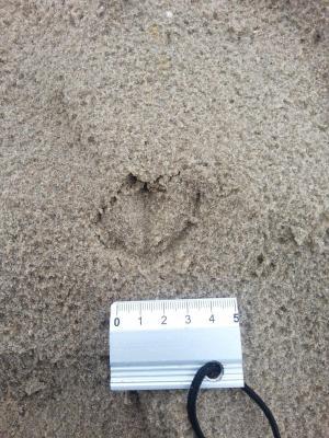Mouette rieuse dans le sable