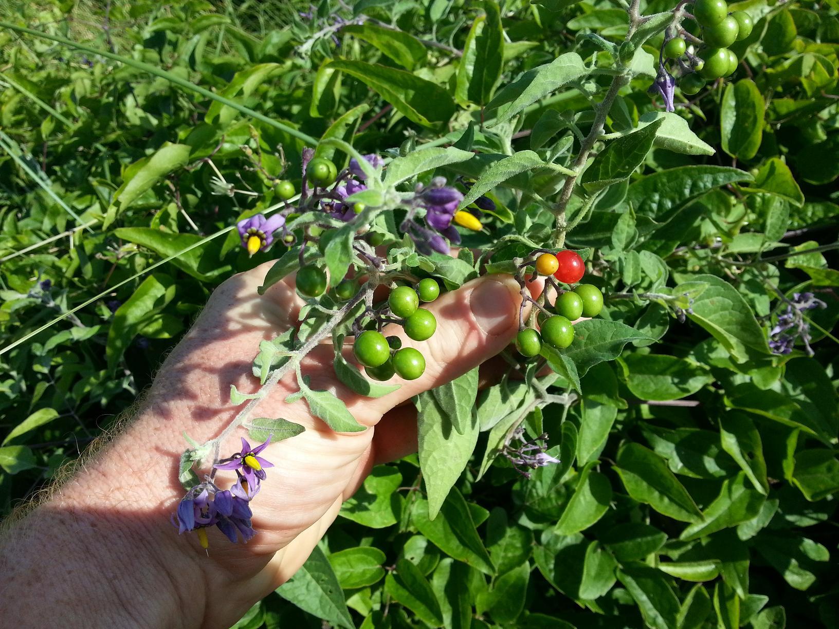 Ces jolies petites tomates sont produites par