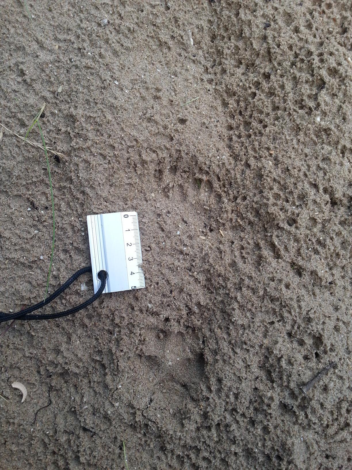 Cette photo montre les empreintes d'une renarde et de ses renardeaux