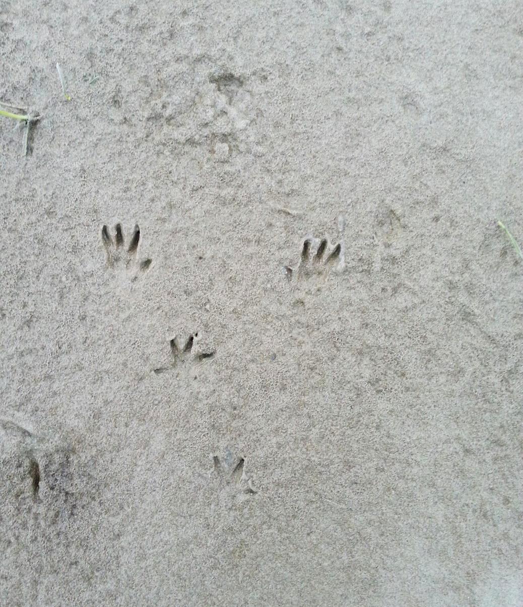 Dans ce groupe de traces de rongeur, les pieds antérieurs se situent