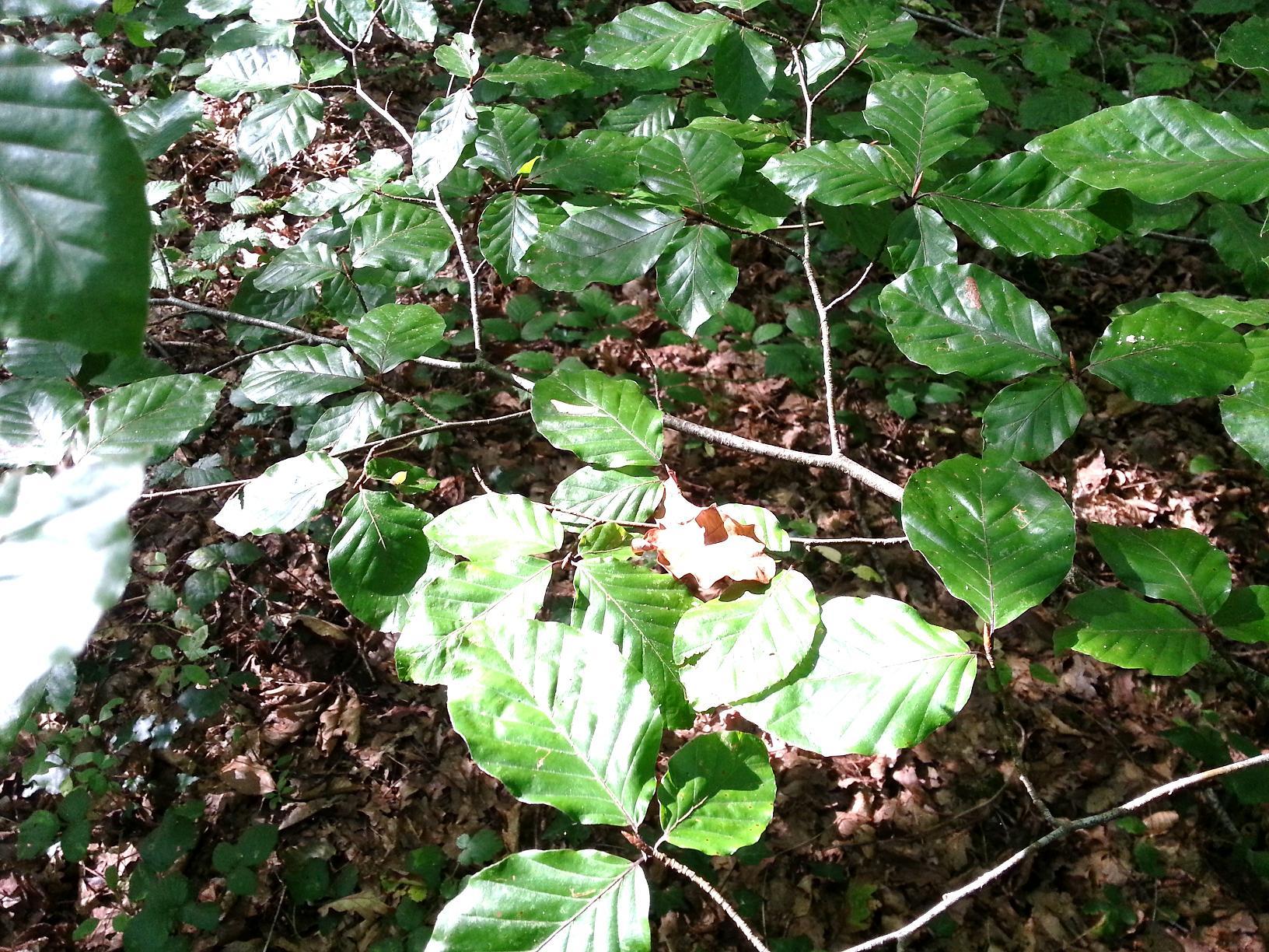 Le chevreuil raffole du feuillage de cet arbre