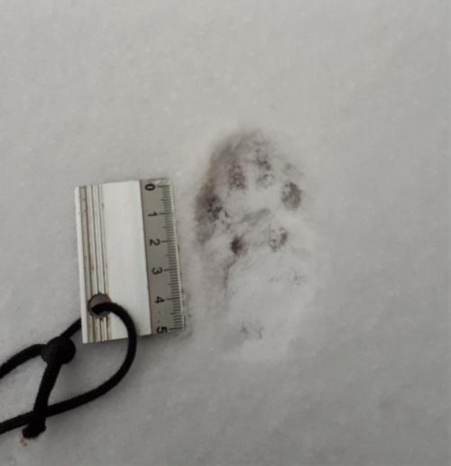 Empreinte de chat dans la neige