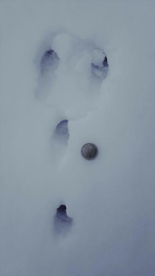 traces de lapin dans la neige