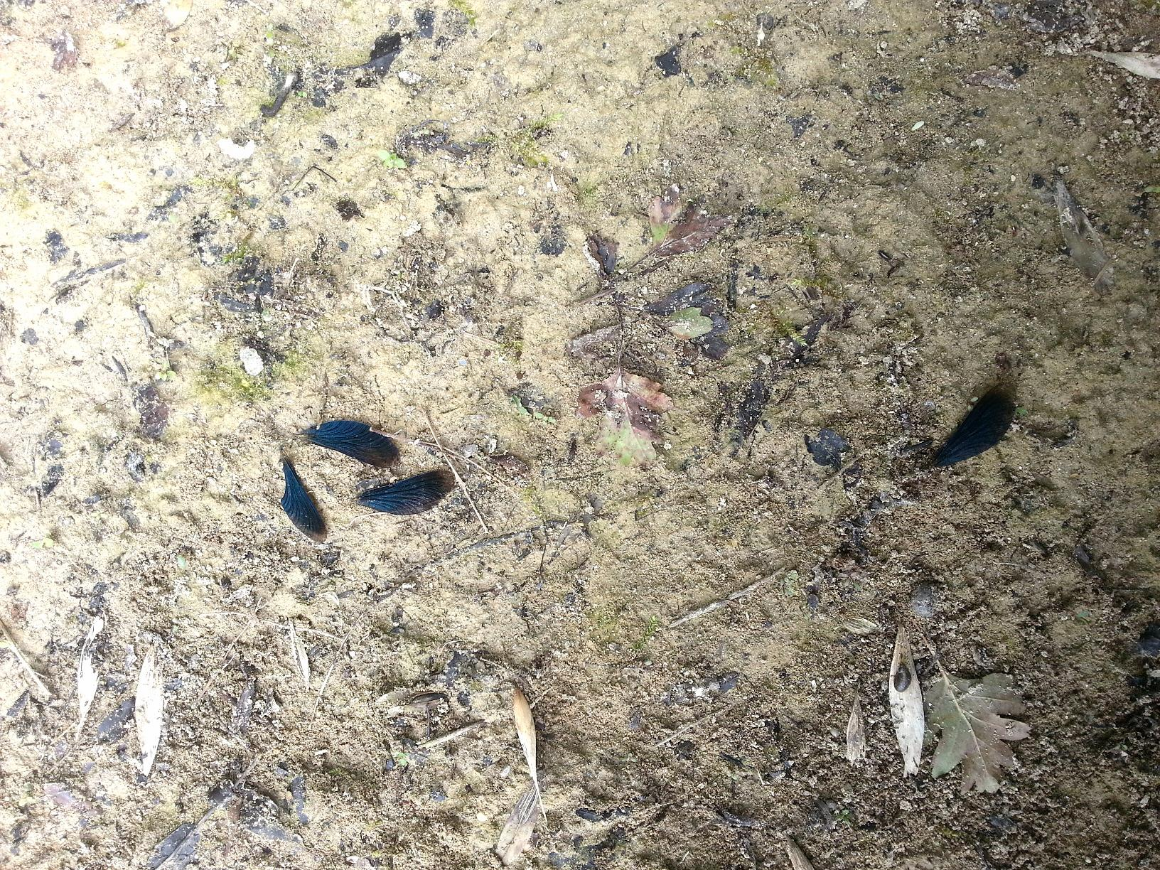 Ces ailes de calopteryx ont été abandonnées par une bergeronnette.