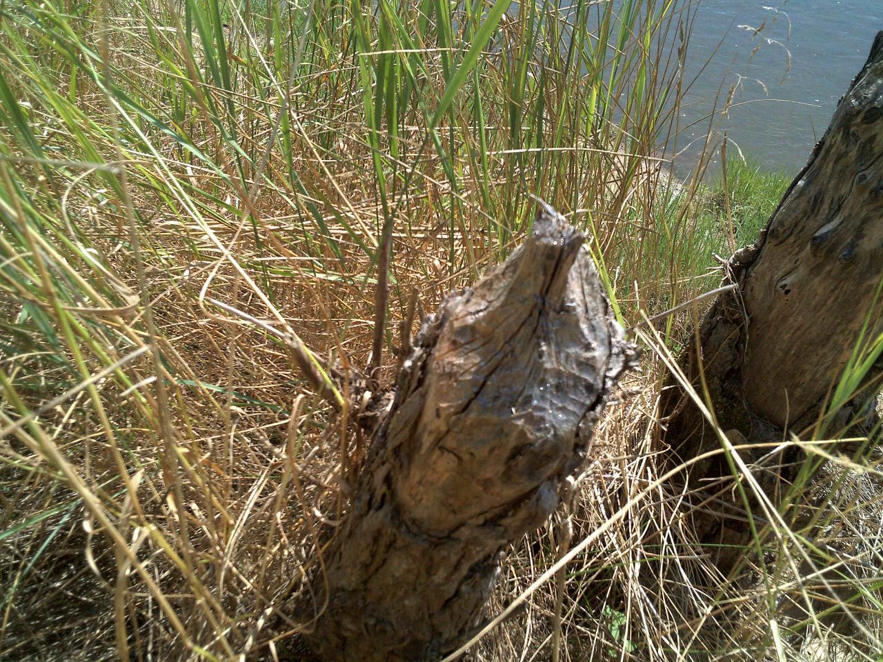 Cet arbre a été la victime du