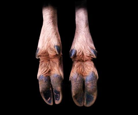Le pied de l'animal