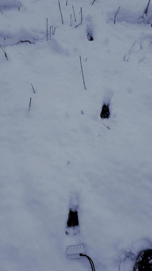 traces de chevreuil dans la neige