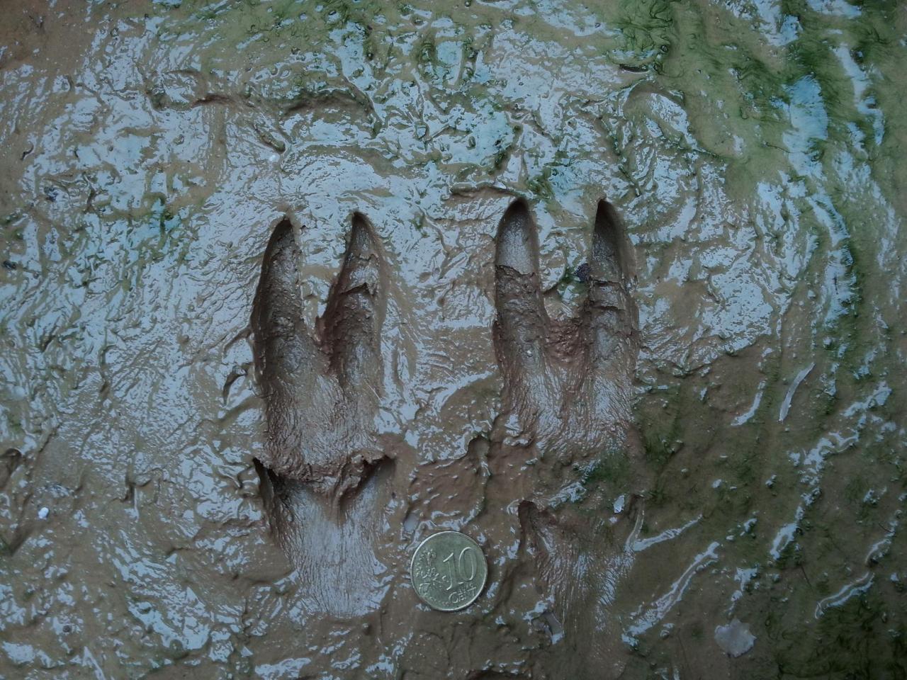 L'empreinte du pied postérieur du chevreuil est celle