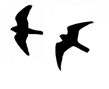 Parmi ces deux faucons (crécerelle et hobereau), le faucon hobereau est