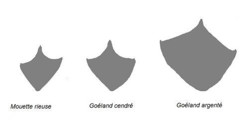 Comparaison de quelques laridés