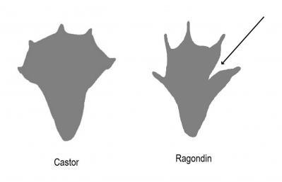 Comparaison ragondin castor