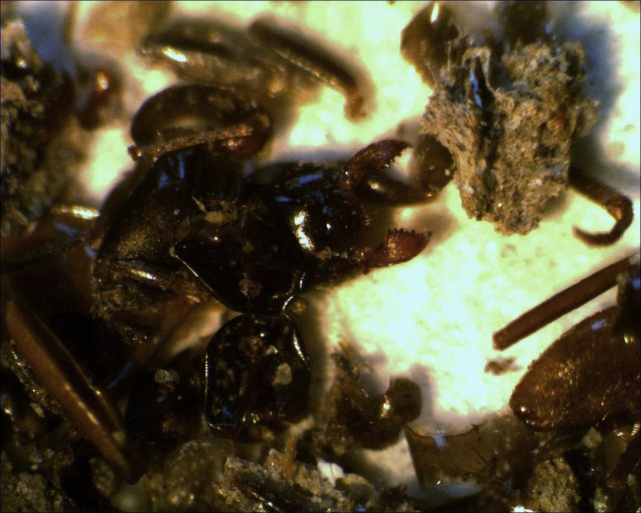 Quel oiseau laisse des fientes presque entièrement composées de fourmis ?
