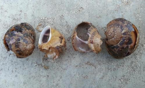 Escargots mangés par un rat