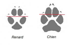 Pied de renard et de chien