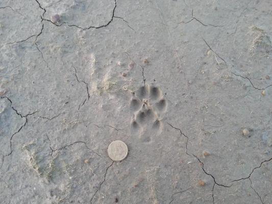 Empreinte de renard