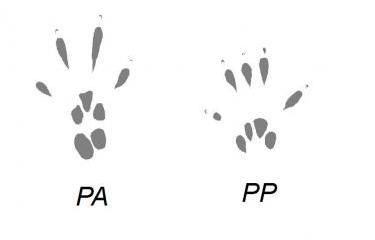 PA ; PP
