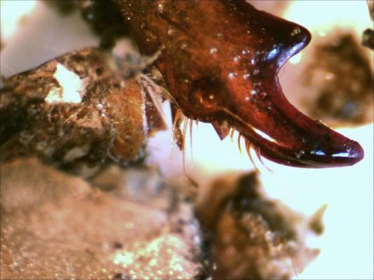 Restes d'insectes