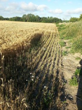 Dégâts de lapin sur une culture céréalière