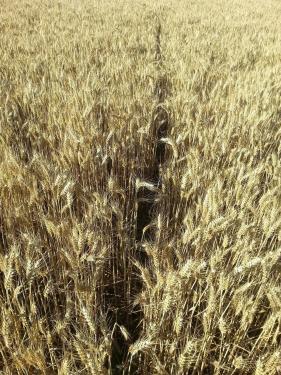 coulée de lapin dans un champ de céréales