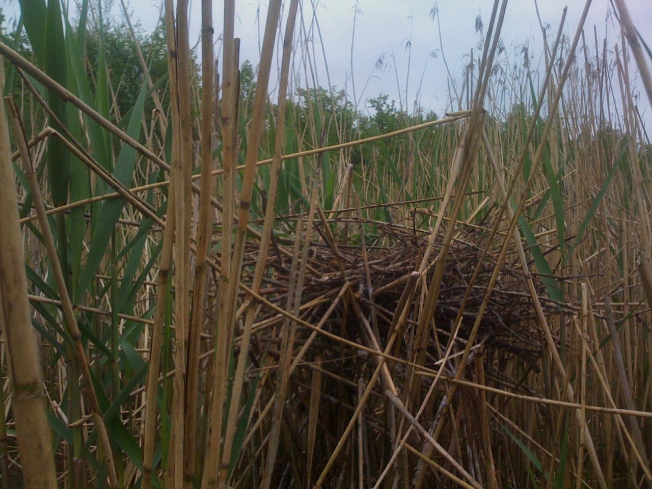 Ce nid de grand diamètre, perché dans les roseaux et celui