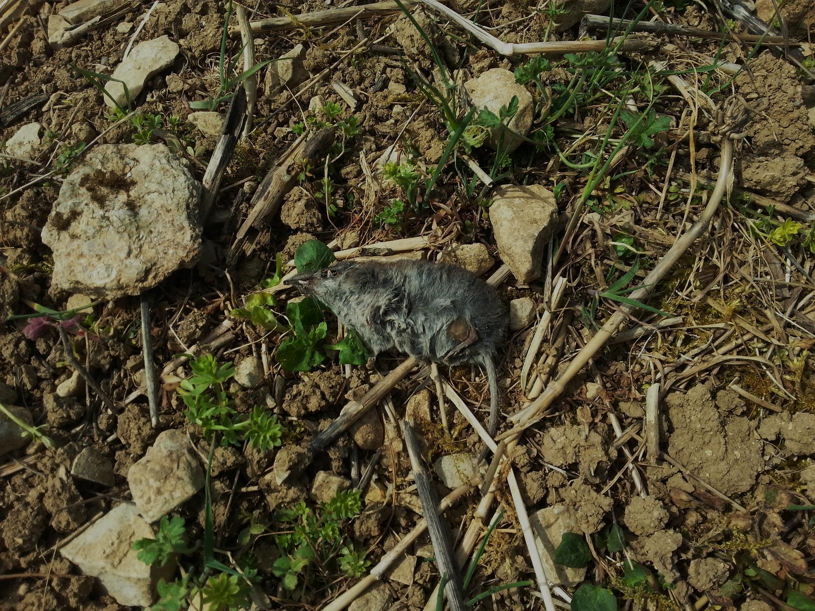 Cette musaraigne a été tuée, puis délaissée par un renard ou un chat.