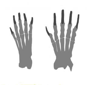 Disposition des phalanges