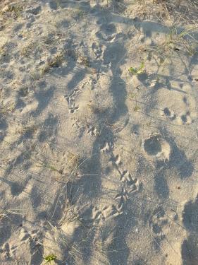 Piste de ramier dans le sable
