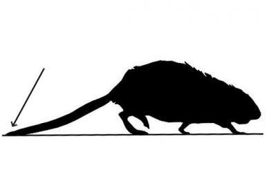 Rat musqué au pas