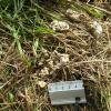 Ces laissées constituées de grains de maïs non digérés, ont été déposées par un renard
