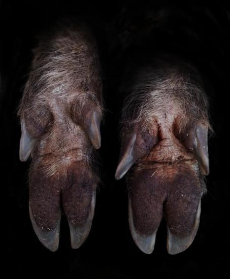 Pieds de l'animal